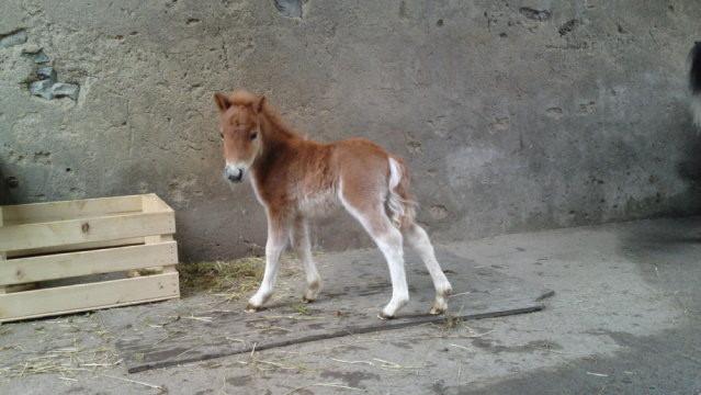 Kimara von Esthis-Ponyfarm, Geb. 03.05.13