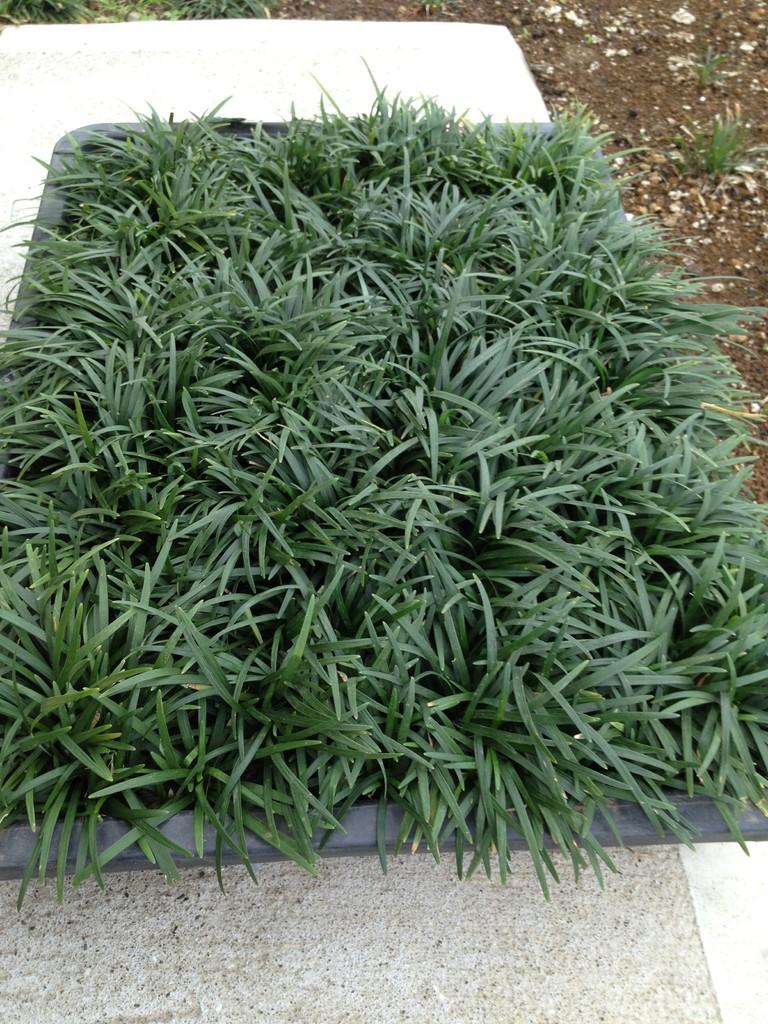 駐車場にタマリュウを植える - 庭木で開運 自分でできる簡単な ...