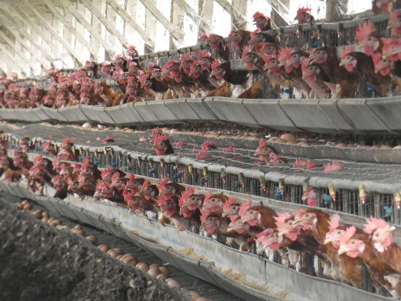 2019年日本の養鶏場