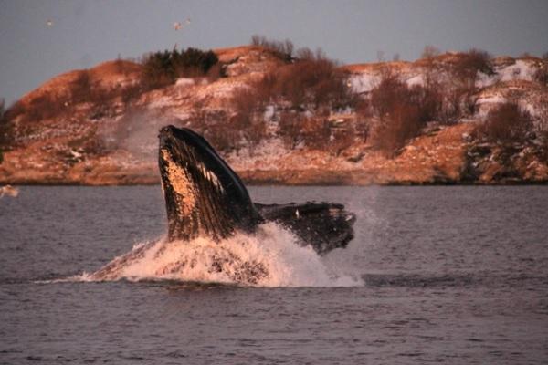 freaky finance, freaky travel, Norwegen, Meer, Fische, Wale, Buckelwale, Springen, Wellen, Wasser, Wildnis, Insel, Norden