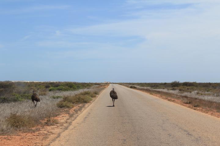Emu rennt