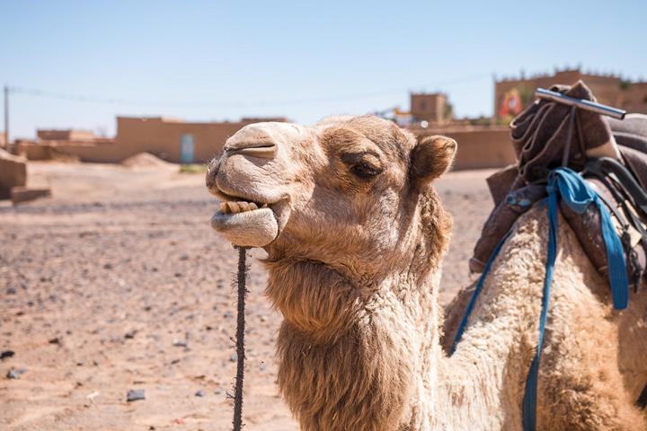 Mein Kumpel das Kamel