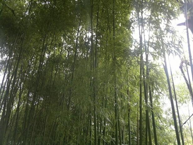 Bambou - Bamboo - Bambuseae par alain van den hende  http://www.publicdomainpictures.net/view-image.php?image=130981&picture=bambou-bamboo-bambuseae