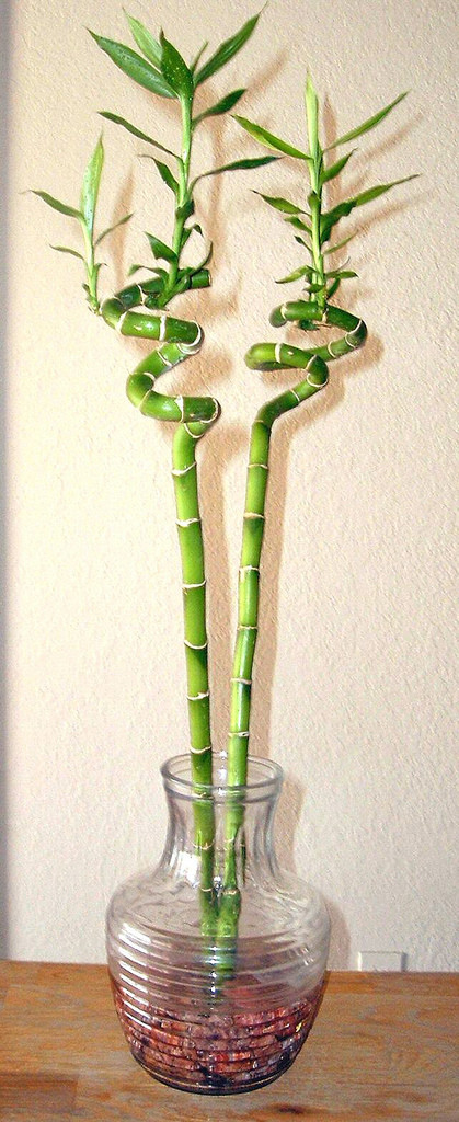 «Lucky bamboo spiral houseplant» توسط Toby Lee Spiegel from United States - http://www.flickr.com/photos/34703706@N02/3720677197/. تحت پروانهٔ CC BY 2.0 به وسیلهٔ ویکیانبار - https://commons.wikimedia.org/wiki/File:Lucky_bamboo_spiral_houseplant.jpg#/med