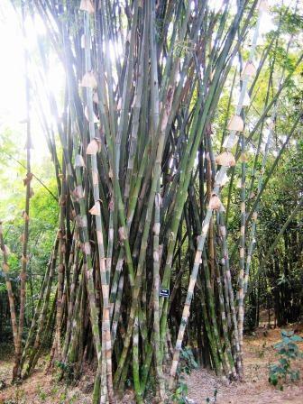 BU211F097_«Bengal-Bamboo» par User:Faizul Latif Chowdhury. Sous licence CC BY 3.0 via Wikimedia Commons - https://commons.wikimedia.org/wiki/File:Bengal-Bamboo.jpg#/media/File:Bengal-Bamboo.jpg
