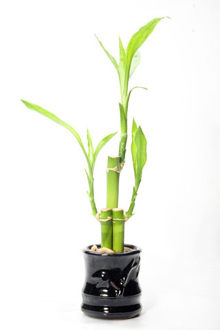 """Lucky bamboo"" by Champlax - Own work. Licensed under CC BY-SA 3.0 via Commons - https://commons.wikimedia.org/wiki/File:Lucky_bamboo.jpg#/media/File:Lucky_bamboo.jpg"