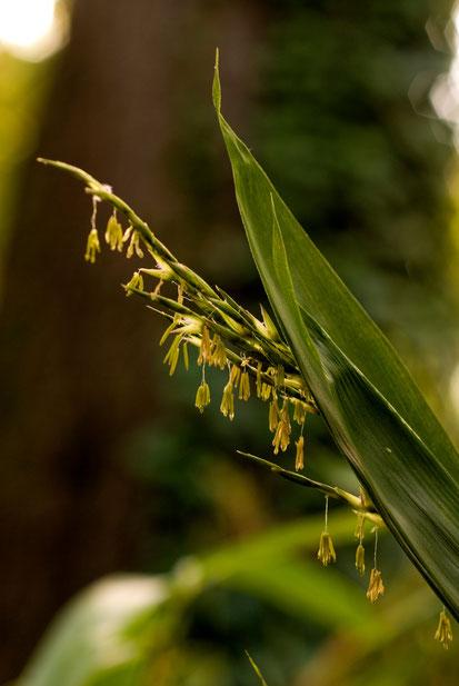 Sasa magnifica  Photo prise au Jardin botanique de Lyon par Léonce Carré