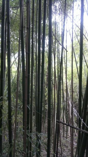 «Bamboo bambou bambuseae phyllostachys VAN DEN HENDE ALAIN CC-BY-SA-4 0 210520142038 01» par Alain Van den Hende — Travail personnel. Sous licence CC BY-SA 4.0 via Wikimedia Commons - https://commons.wikimedia.org/wiki/File:Bamboo_bambou_bambuseae_phyll