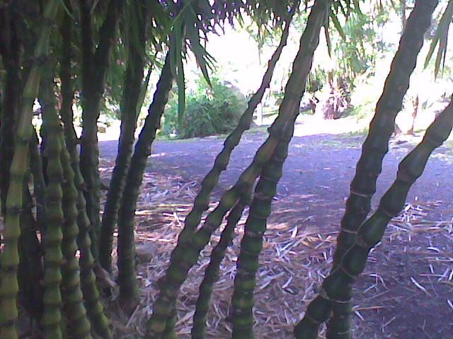 BU211F078_«Bambou sacré» par AudreyX3 — Travail personnel. Sous licence CC BY-SA 3.0 via Wikimedia Commons - https://commons.wikimedia.org/wiki/File:Bambou_sacr%C3%A9.jpg#/media/File:Bambou_sacr%C3%A9.jpg