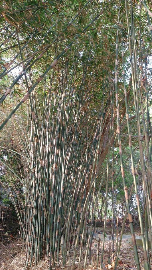 "-61MR ""Bamboo 4"" by Mokkie - स्वतःचे काम. Licensed under CC BY-SA 3.0 via Wikimedia Commons - https://commons.wikimedia.org/wiki/File:Bamboo_4.jpg#/media/File:Bamboo_4.jpg"
