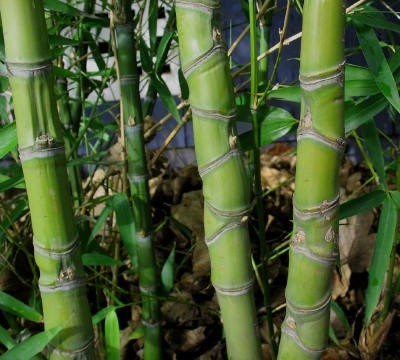 """Golden Bamboo (Phyllostachys Aureosulcata) Compressed Internodes"" by BambooJerry - took photo in on of our grovesPreviously published: CapeMayBamboo.com. Licensed under CC BY-SA 3.0 via Wikipedia - https://en.wikipedia.org/wiki/File:Golden_Bamboo_(Phyllo"