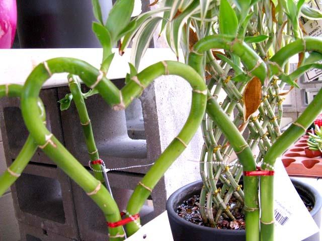 "Clyde Robinson from Sarasota, Florida, United States - http://www.flickr.com/photos/85549619@N00/2615092823/ സൃഷ്ടിച്ച ""Lucky Bamboo Hearts"". വിക്കിമീഡിയ കോമൺസ് - https://commons.wikimedia.org/wiki/File:Lucky_Bamboo_Hearts.jpg#/media/File:Lucky_Bamboo_Hea"