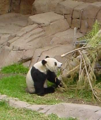 BU211F163_« Panda eating Bamboo » par (Automated conversion) sur Wikipedia anglais — photo by TimShell. Sous licence CC BY-SA 3.0 via Wikimedia Commons - https://commons.wikimedia.org/wiki/File:Panda_eating_Bamboo.jpg#/media/File:Panda_eating_Bamboo.jpg