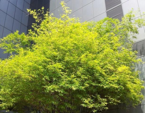 pdp Arbre de bambou aurea  vert par mark yang