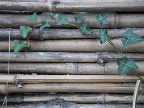 «CANISSE EN CHAUME DE BAMBOU PATINE et LIERRE VERT canisse stem bamboo and green ivy van den hende alain CC-BY-SA 4 0 01021» par Alain Van den Hende — Travail personnel. Sous licence CC BY-SA 4.0 via Wikimedia Commons - https://commons.wikimedia.org/wik