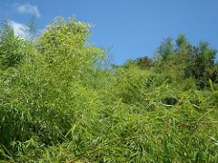 Bamboo - Bambousaie en France par Alain Van den Hende -Licence CC BY-NC-SA-3.0