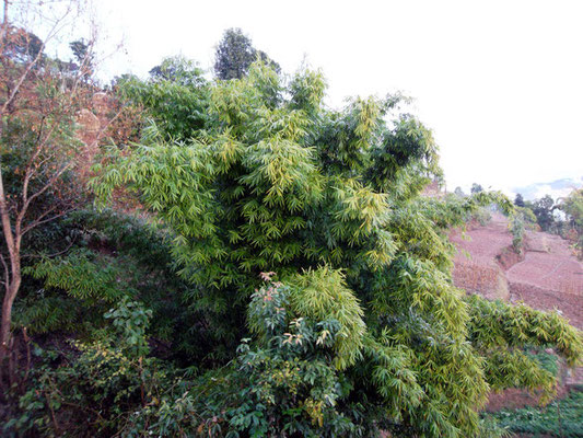 BU60F005_« Bamboo bush » par Nirmal Dulal — Travail personnel. Sous licence CC BY-SA 3.0 via Wikimedia Commons - https://commons.wikimedia.org/wiki/File:Bamboo_bush.JPG#/media/File:Bamboo_bush.JPG
