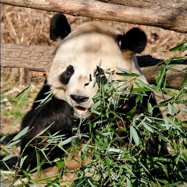 « Panda National Zoo » par Steve from washington, dc, usa — snacktime. Sous licence CC BY-SA 2.0