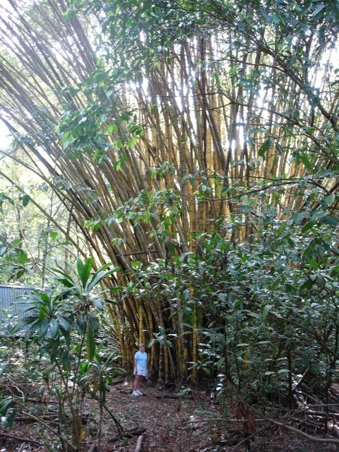 BU211F042_« Bamboo in the Manuel Antonio Park in Costa Rica » par (WT-shared) Jackmer sur wts wikivoyage — Travail personnel. Sous licence Domaine public via Wikimedia Commons - https://commons.wikimedia.org/wiki/File:Bamboo_in_the_Manuel_Antonio_Park_in_