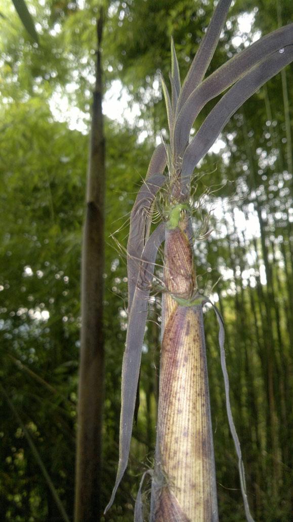 «Bamboo bambou bambuseae phyllostachys VAN DEN HENDE ALAIN CC-BY-SA-4 0 210520142108» par Alain Van den Hende — Travail personnel. Sous licence CC BY-SA 4.0 via Wikimedia Commons - https://commons.wikimedia.org/wiki/File:Bamboo_bambou_bambuseae_phyllost