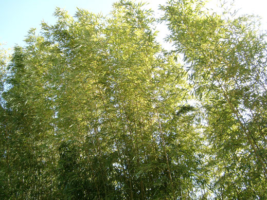 BU211F066_« Bamboo-blossom-genay-france » par François Obada — Travail personnel. Sous licence CC BY 2.5 via Wikimedia Commons - https://commons.wikimedia.org/wiki/File:Bamboo-blossom-genay-france.jpg#/media/File:Bamboo-blossom-genay-france.jpg