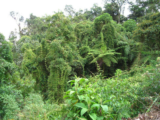 « Bamboo and ferns in Peru rainforest () » par Tadd and Debbie Ottman — originally posted to Flickr as bamboo and ferns. Sous licence CC BY 2.0 via Wikimedia Commons - https://commons.wikimedia.org/wiki/File:Bamboo_and_ferns_in_Peru_rainforest_().jpg#/med