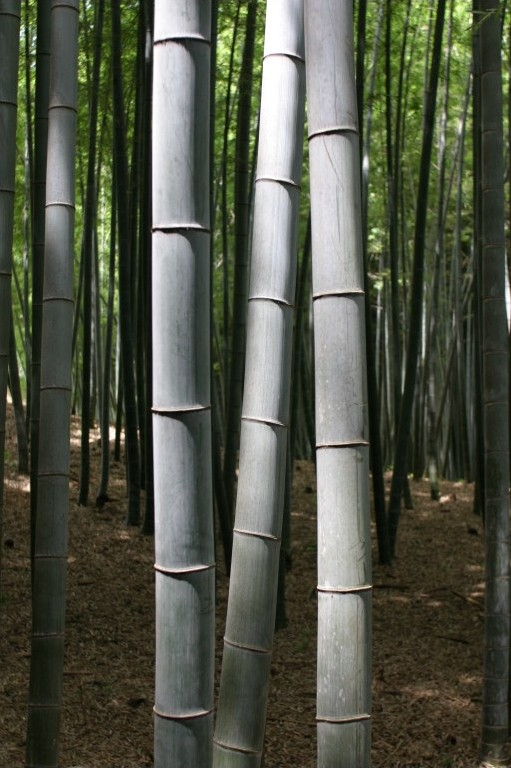 "Bambouseraie d'Arashiyama : La forêt de bambous de Sagano à Kyoto , giant bamboo, canne chaume bambou géant, forêt de jade - ""BambooKyoto"". Под лиценцом CC BY-SA 3.0 са сајта Викимедијина остава - https://commons.wikimedia.org/wiki/File:BambooKyoto.jpg#/m"