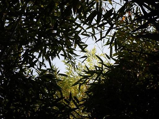 Bambazar – 30 septembre et 1er octobre 2017 - https://fr.wikipedia.org/wiki/Fichier:Bamboo_Phyllostachys_viridiglaucescens_Alain_VanDenHende_2017061474_Bambou_Bambusoideae.jpg