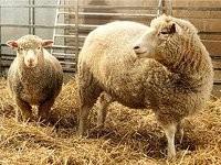 Шнобелевская премия-2012: овцы-правши и другие