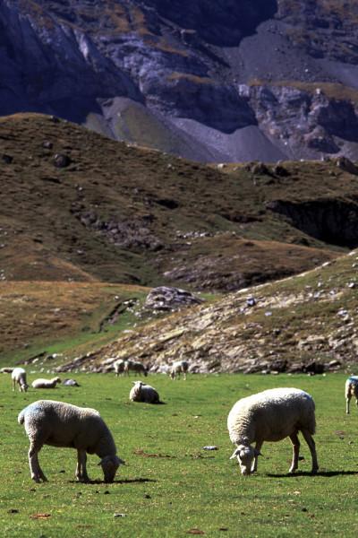 Brebis en estives de montagne dans les Pyrénées