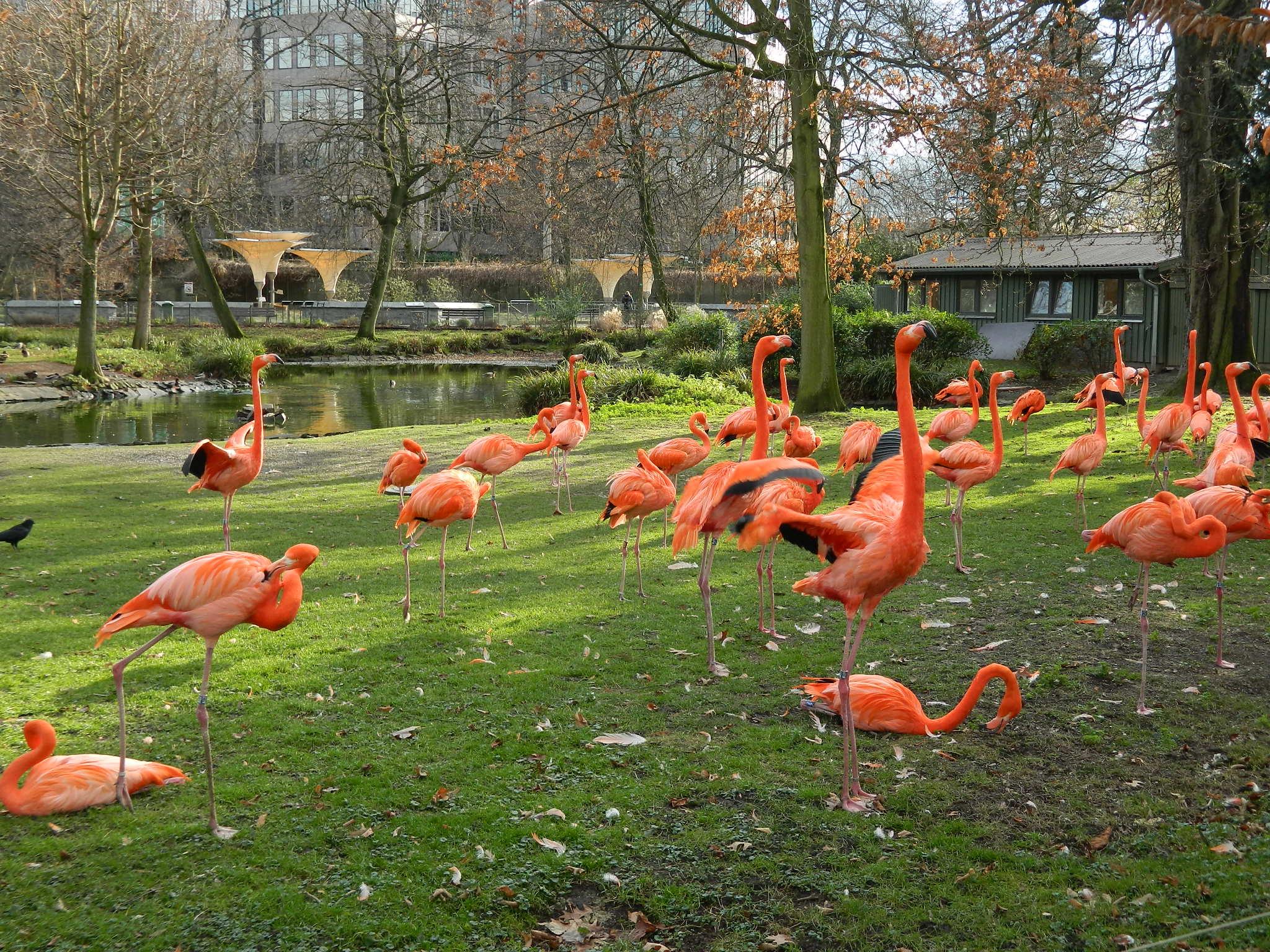 Flamencos en el zoológico de Colonia