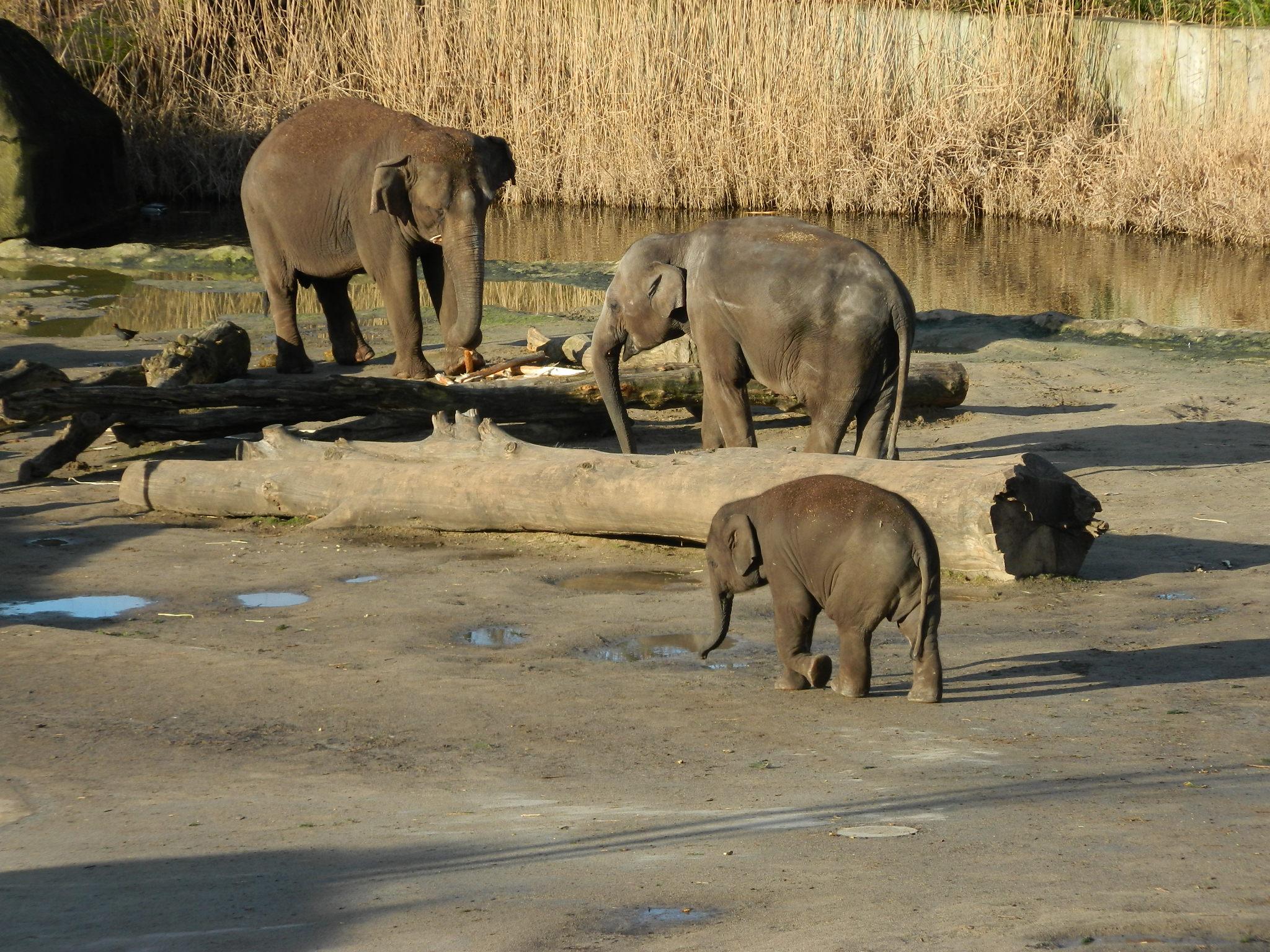Elefantes en el zoológico de Colonia