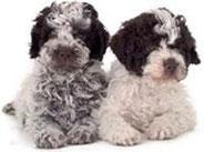 cuccioli lagotto romagnolo tartufi e cani
