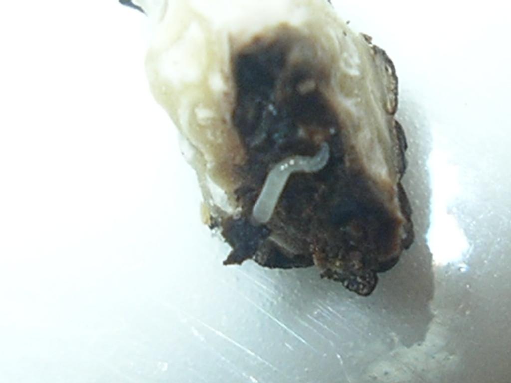 T. Brumale Vitt. varietà Moscatum De Ferry verminato