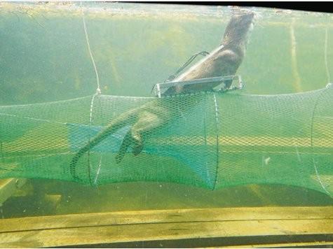 """Ausstiegsmöglichkeit für Otter """"Porthos"""" er verlässt die Reuse durch die eingebaute Klappe."""