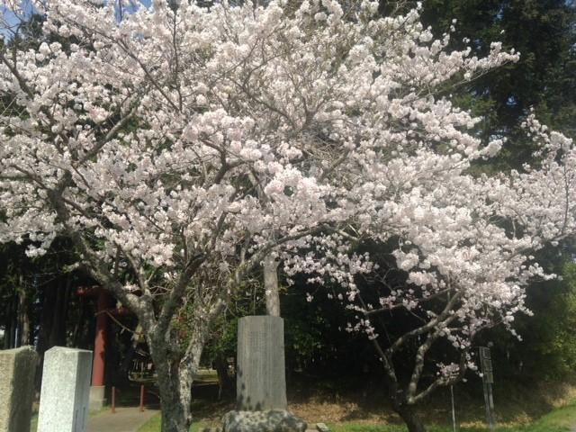 桜も満開できれいですね、散歩に行きながらこれからも季節を楽しみましょう