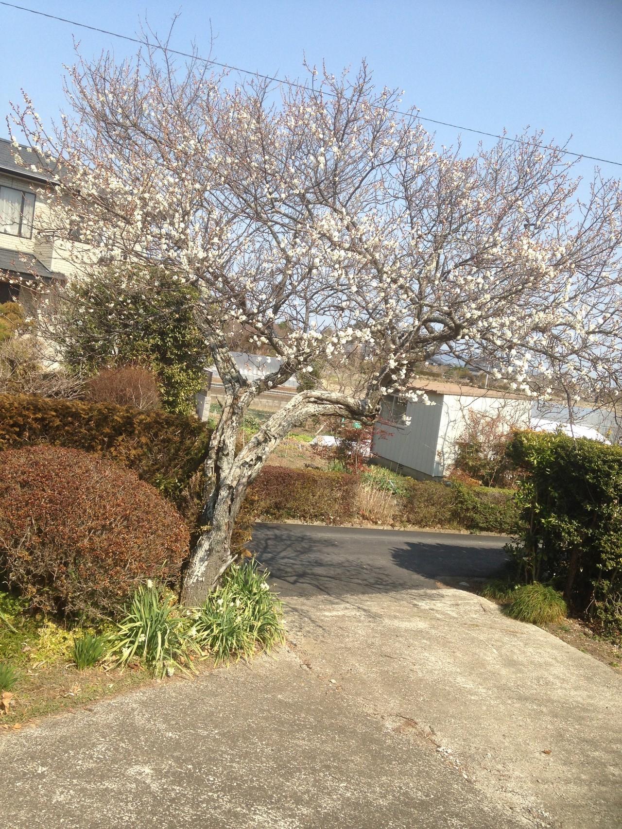 デイサービス入り口には梅の花も咲き、梅の実も収穫できます