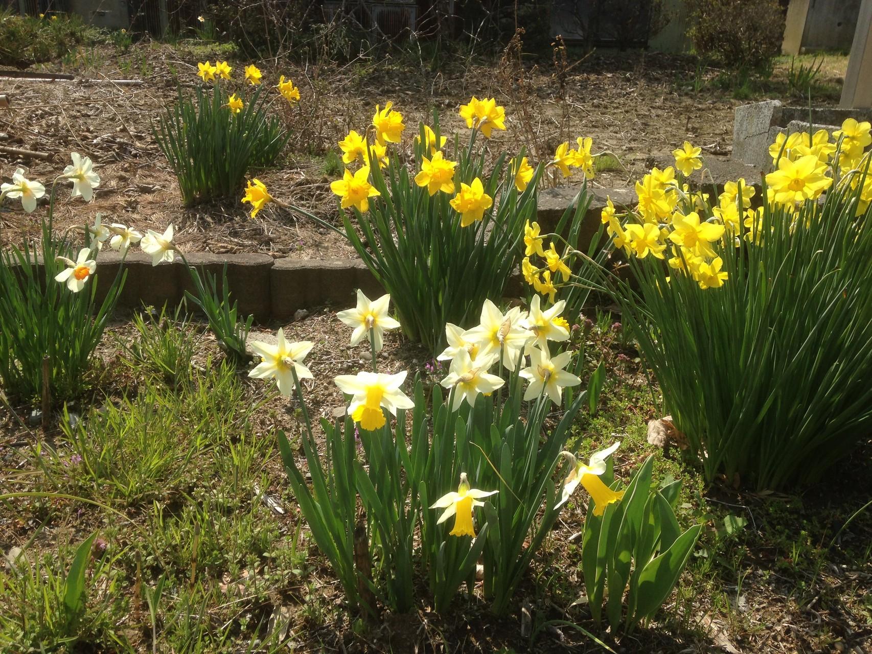 黄色や白の水仙も綺麗ですね