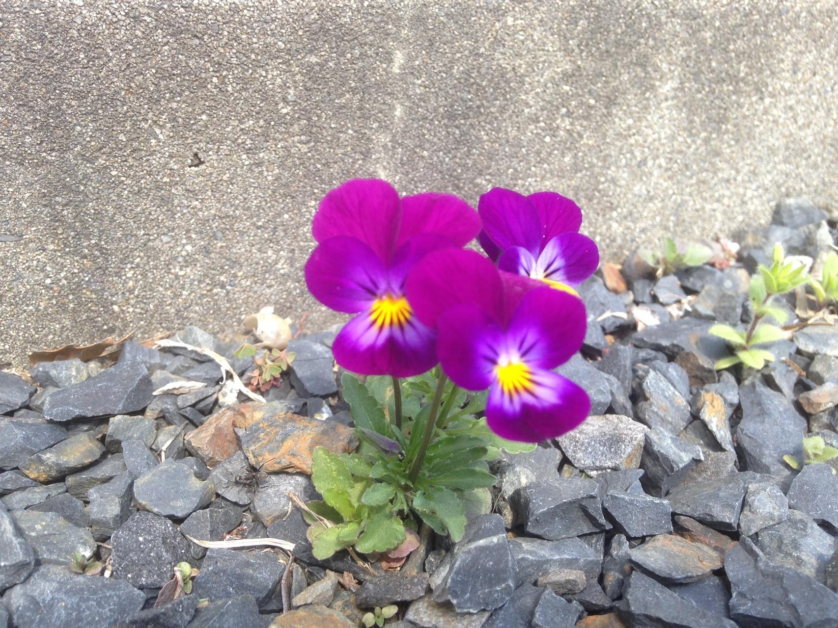 春になると庭にはたくさんのスミレの花が咲き誇ります