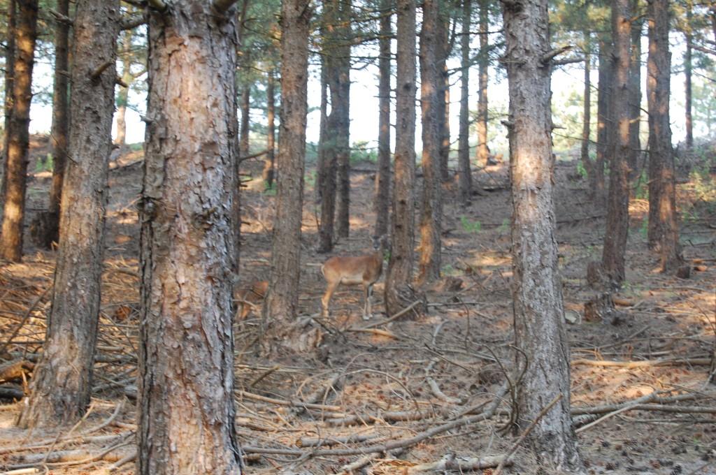 Mouflon dans les arbres