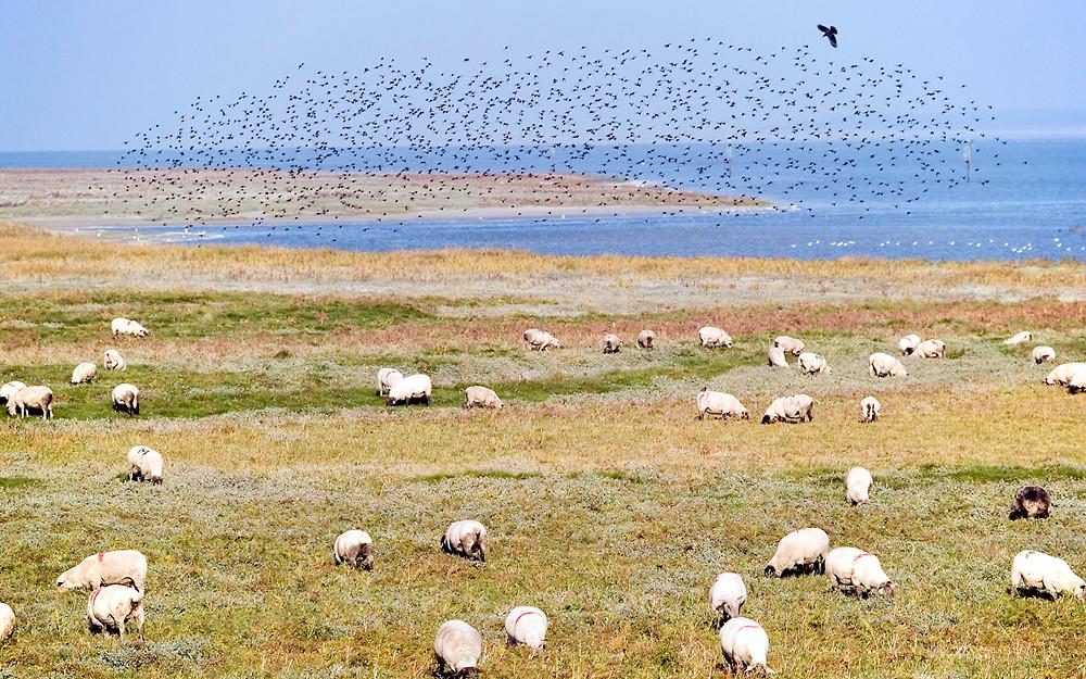 Les moutons de prés salés