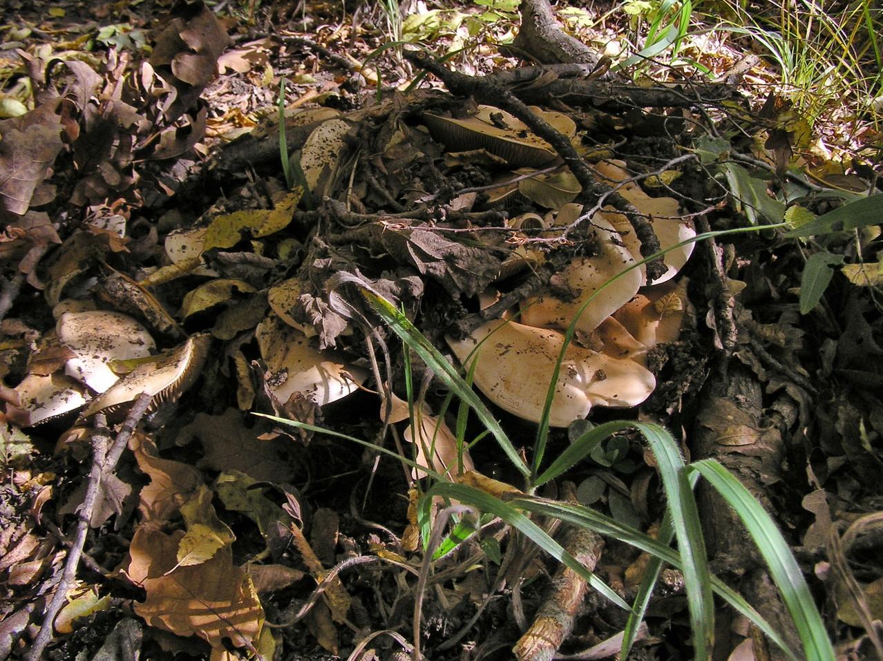 Сперва грибы маскировались