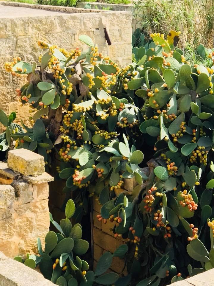 Gozo, Xewkija, visit Gozo, Mina Moonlight, Benitaljo, Kaktusfeigen, Auszeit, Retreat, Yoga, Reisebericht, Blogger