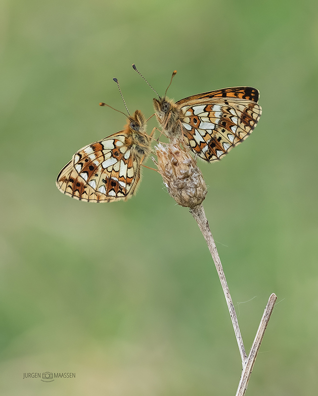 Zilveren Maan duo - Pair of small Pearl-bordered Fritillary.