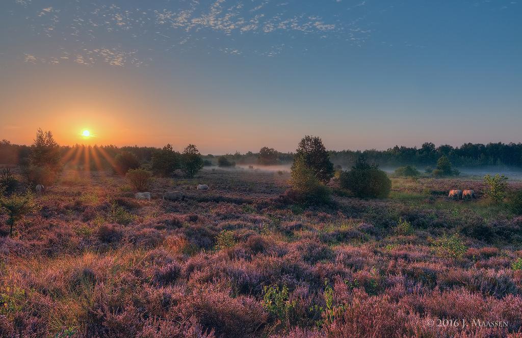Bloeiende heide, zonsopkomst, grondmist + konik paarden - Blooming moor, sunrise, groundfog + konik horses.