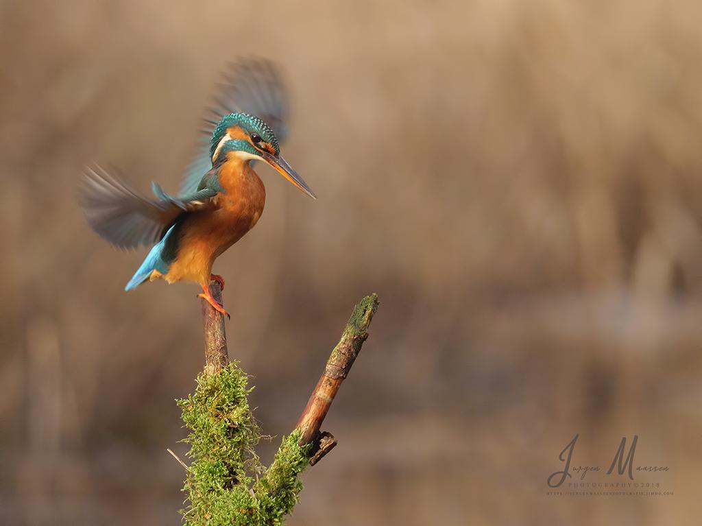 IJsvogel wijfje - Common Kingfisher female.