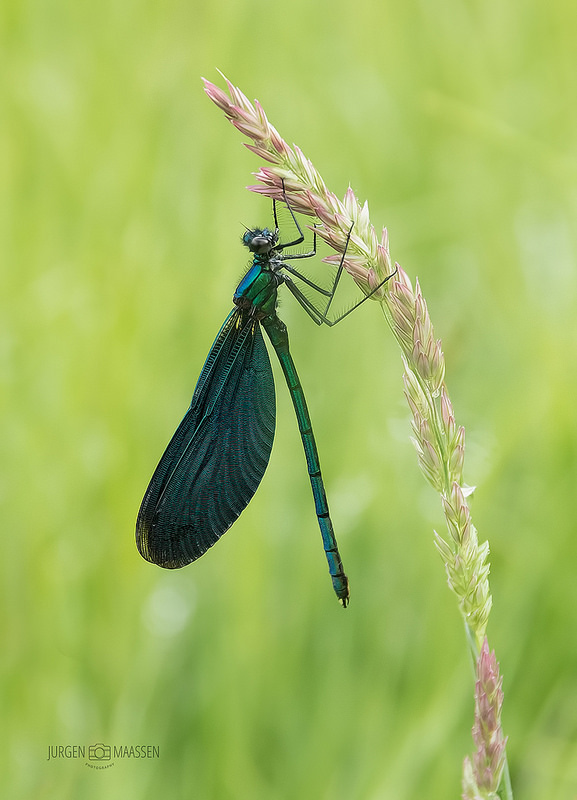 Bosbeekjuffer ♂ - Beautiful Demoiselle ♂.