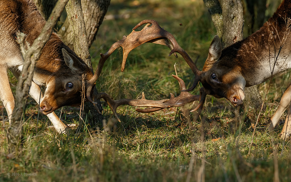 Damhert gevecht kortbij, 3e dag - Fallow deer fight from a short distance, 3th day.