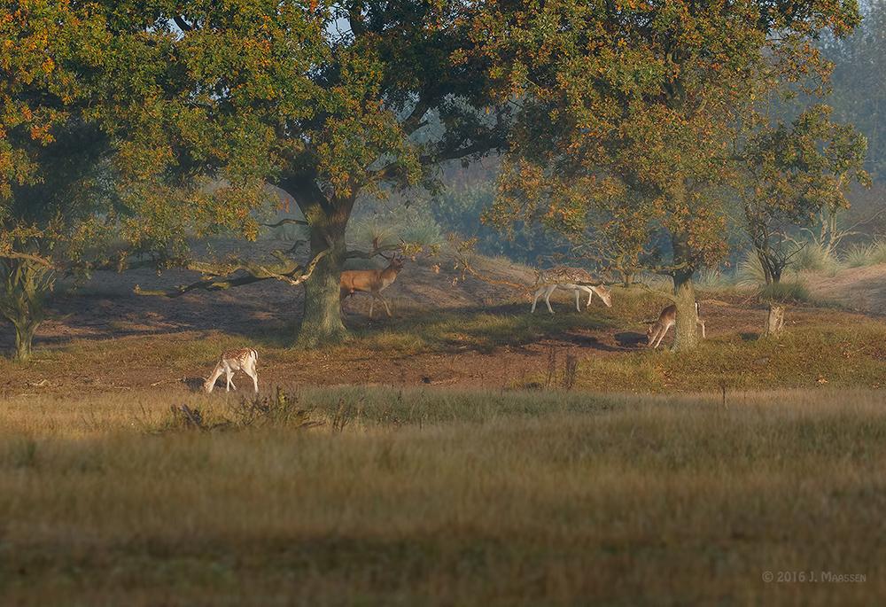 Grazende damherten op een heuveltje, 2e dag - Grazing fallow deers on a small hill, 2nd day.