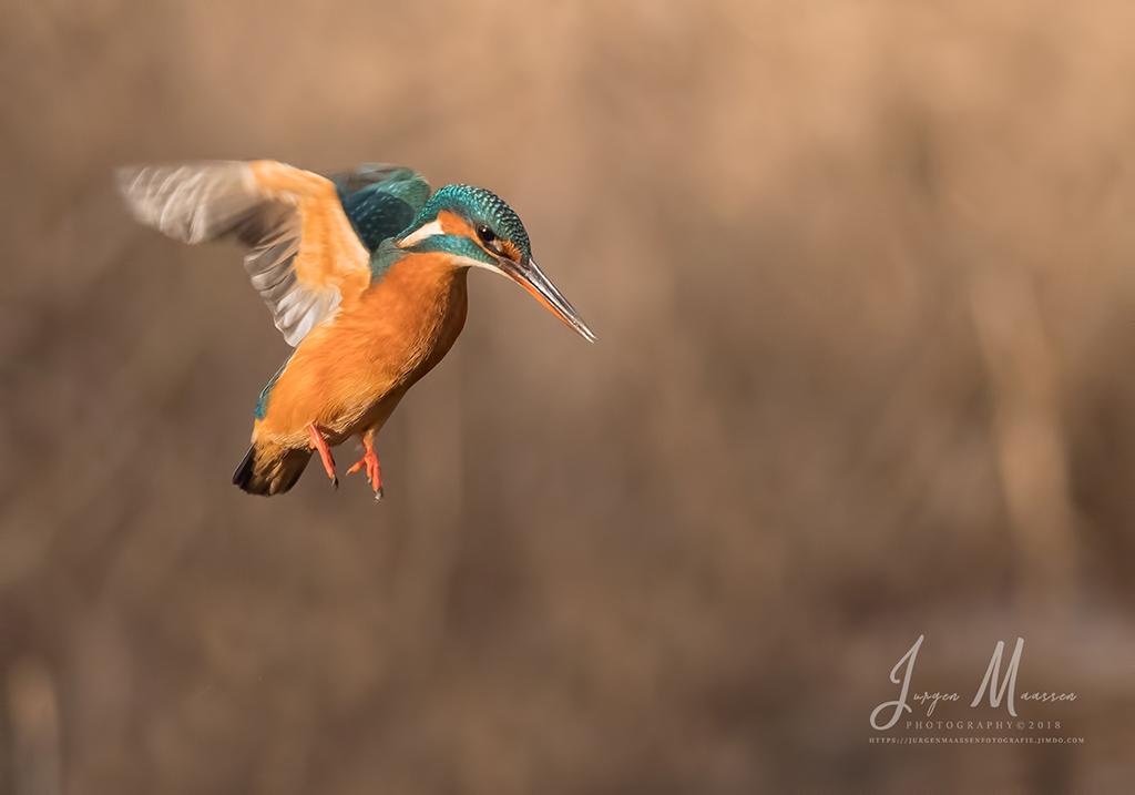 Biddend IJsvogel wijfje - Hovering Common Kingfisher female.